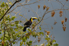 Green Toucan in Osa Peninsula, Costa Rica Royalty Free Stock Photo