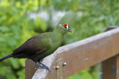 Green Touraco,Tauraco persa Royalty Free Stock Photography