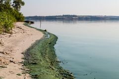 Green toxic algae on the banks of the river. Royalty Free Stock Images