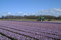 Green tractor in field with hyacinths under typica. In springtime the western part of Holland, the area just behind the dunes, becomes a colorful carpet. It's Royalty Free Stock Image