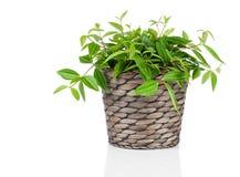 Green tradescantia plant in pot stock photo