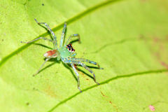 Green translucent jumping spider Stock Images