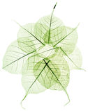 Green transparent dried fall leaves Royalty Free Stock Images