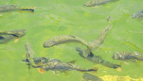 Piraputanga fishes swimming on the water of Formoso river on Bon. Green transparent water of a river with some Piraputanga fishes swimming on the water of Royalty Free Stock Photo