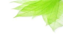 Green transperent leaves Stock Image