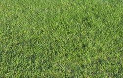 green trawy Zdjęcie Royalty Free