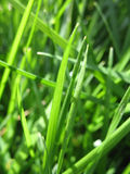 green trawy Obrazy Royalty Free
