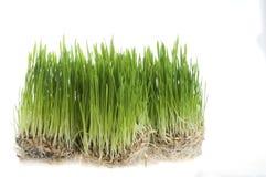 green trawy kiełkowym biały pszenicznym nad Zdjęcia Royalty Free