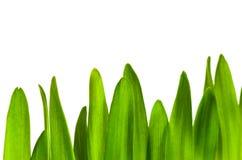 green trawy występować samodzielnie Zdjęcia Royalty Free