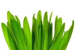 green trawy występować samodzielnie Zdjęcie Stock