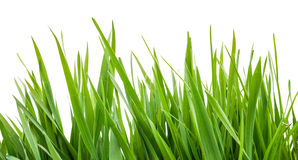 green trawy występować samodzielnie Obraz Stock