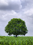 Green Tree. Alone in field Royalty Free Stock Image