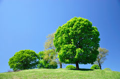 Green tree. On blue sky background Royalty Free Stock Photos