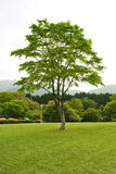 Green tree. Alone in green grass garden Stock Photography