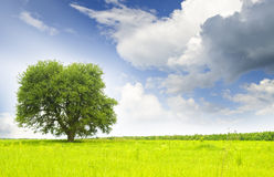 Green tree. On a turning summer meadow Stock Images