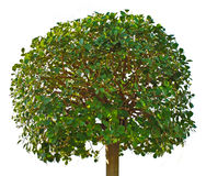Green tree Royalty Free Stock Photography