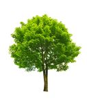 Green tree. Fresh green tree isolated on white Royalty Free Stock Photo