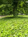 Green Tree. Big green tree in park. In front a lot of leafs Royalty Free Stock Images