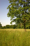 Green tree. In  green grass in summer Stock Photo