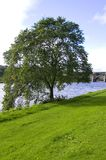 Green Tree. Tree on the edge of the river Dee, Scotland Royalty Free Stock Photos