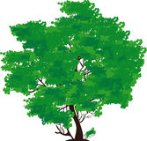 Green tree. The big tree with green foliage on a white background Royalty Free Stock Photo