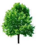 Green Tree. In the summer isolated on white background Stock Image