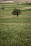 A green tree alone on a field Stock Images