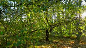 Green Tree In Autumnal Landscape Against Bright Sunlight. This is a picturesque shot of a beautiful green tree with long branches in autumnal landscape with stock video footage
