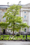 Green tree and bicycles on university campus Royalty Free Stock Images
