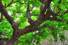 Green tree. Big old green tree with large branches Royalty Free Stock Photos