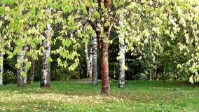 Green tree among birches in autumn season stock video footage