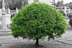 Green tree with black and white background Royalty Free Stock Images