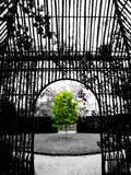Green tree in black and white background. Fledgling tree in a garden framed by a trellis royalty free stock image
