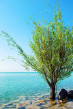 Green tree in the blue lake Royalty Free Stock Photography