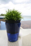 Green Tree In blue pots. Placed near the sea Royalty Free Stock Photo