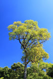 Green tree and Blue sky Royalty Free Stock Images