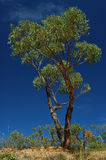 Green tree on a blue sky. Green eucalypt tree on a blue sky royalty free stock photography