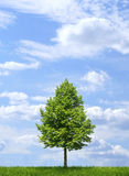 Green tree on blue sky background Stock Photo
