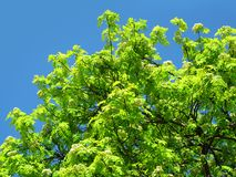 Green tree on a blue sky background. Blossoming mountain ash on a blue sky background Royalty Free Stock Photos