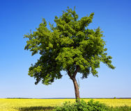Green tree on blue sky. Green tree on the blue sky background Stock Image
