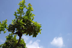Green tree on blue sky. Background Stock Images