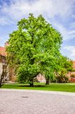 Green tree and blue sky on the background. Big old green tree and blue, a bit cloudy sky on the background Stock Photo