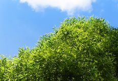 Green tree on a blue sky background. Fresh green foliage on a blue sky background Royalty Free Stock Image