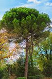 Green pine tree on blue sky background. Green tree on blue sky background Royalty Free Stock Images