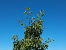 Green tree on blue sky background. Green leaves of tree on blue sky background Stock Photos