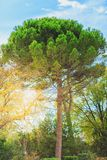 Green pine tree on blue sky background. Green tree on blue sky background Stock Images