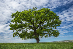 Green tree, blue sky with clouds and wheat field Royalty Free Stock Photos