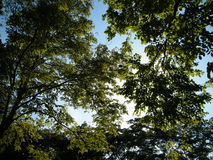 Green tree with blue sky in forest. Green tree with blue sky look like forest Stock Photos