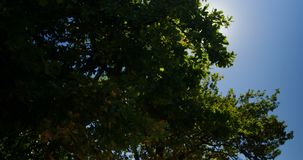 Tree with blue sky on a sunny day 4k. Green tree with blue sky on a sunny day 4k stock video