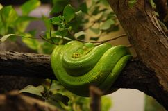 Green Tree Boa. Sleeping on tree Royalty Free Stock Image